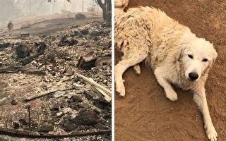 大火把家园焚烧殆尽 牧羊犬坚守羊群不愿离去
