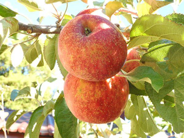 福寿山农场蜜苹果有特殊蜜香味、扎实的果肉与清脆的口感。 (赖瑞/大纪元)