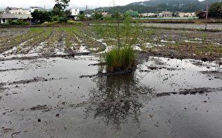 """在三星乡已翻耕的农田里会看到留一小丛的田菁,形成俗称""""猪公毛""""的水田景观。(曾汉东/大纪元)"""