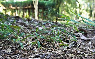 一生一見暹邏竹開花重生  驚現竹山熱帶植物園