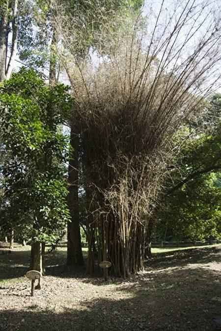 暹逻竹60年开花后整丛枯萎。(彭秋燕/大纪元)