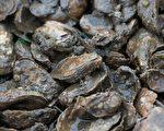 2016年,維吉尼亞州2016年牡蠣的總碼頭批發價值為3580萬美元。(ANDREW CABALLERO-REYNOLDS/AFP/Getty Images)