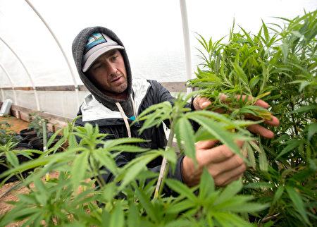 11月8日 晚,艾爾蒙地 (El Monte) 市府允許市內種植、生產和批發醫用大麻的新條例獲通過,很多居民擔憂大麻將給家人及青少年帶來負面影響。圖為一大麻種植者在修剪大麻。(JOSH EDELSON / AFP / Getty Images)