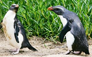 圖為鳳冠企鵝。(Ian Waldie/Getty Images)