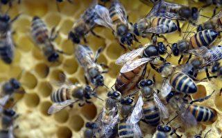 蜜蜂感觉自己面临危险时,就会向同伴发出信号,鼓动其它蜜蜂一起来攻击敌人。(GEORGES GOBET/Getty Images)