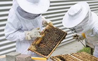 珀斯流行后院养蜂
