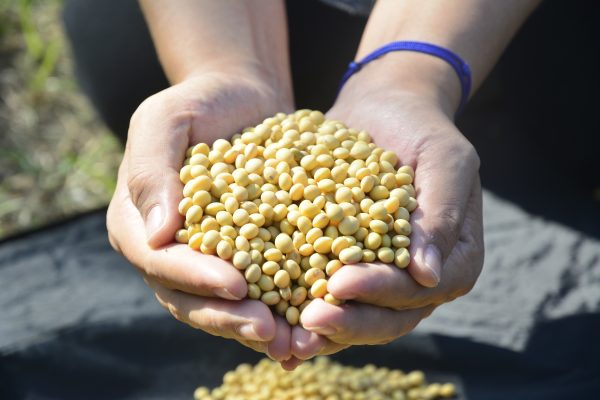 选购黄豆时要注意产地与构成,最好选用台湾本土生产的非基改黄豆。 (赖瑞)