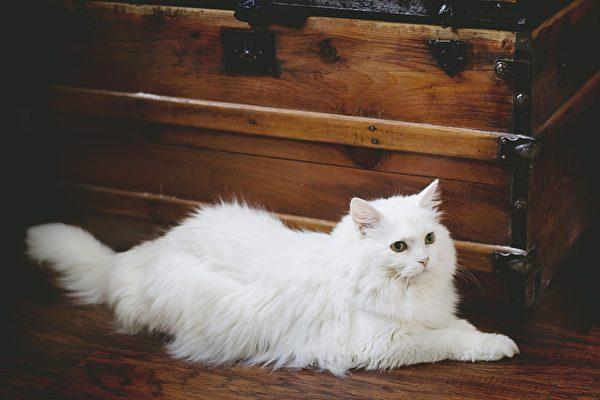 白猫。(Pixabay)