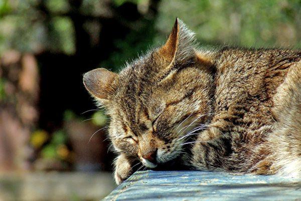 虎斑猫。(Pixabay)