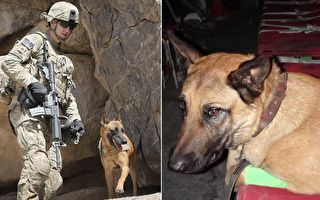 军犬马利在阿富汗战场勇敢执行任务,并保护英军士兵。如今马利受伤后回国,还谋了一份新差事。(视频截图、Scott Olson/Getty Images/大纪元合成)