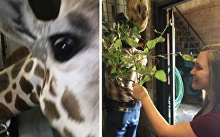蔀雷琪拿著樹枝到長頸鹿前,突然她看到牠脖子上有個東西。(Dickerson Park Zoo/大紀元合成)