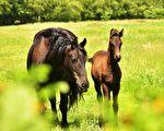 美国加州一个农场的主人期待着母马生下一只小马,结果……(pixabay)