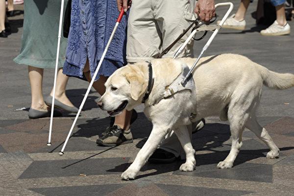 导盲犬领着他的主人走到公车站搭公车。示意图。(shutterstock)