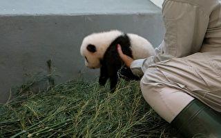 猫熊宝宝赖腿上不肯走 下一秒网友齐呼:奶爸好厉害