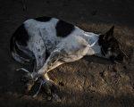 """有消息称中国逾20个省及地区可能会出现""""有毒狗肉""""。(Ulet Ifansasti/Getty Images)"""