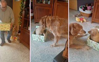失去姊妹的孤單金毛 不會忘記這份聖誕驚喜