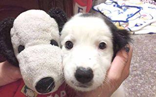 領養流浪狗驚見「史努比」 與媽媽的第一隻收藏是雙胞胎