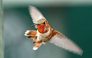 女子抓拍常來花園的蜂鳥 色彩綺麗的羽毛讓網友都驚呆了