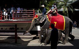 泰國大象踩死領隊 象背上的夫婦還原細節