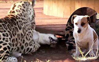 美洲豹撲倒狗狗 張大嘴咬下去 瞬間一奇事發生了