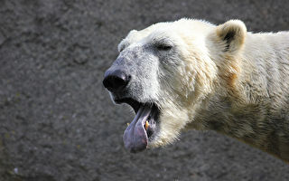 含淚拍骨瘦如柴的北極熊 加攝影師心都碎了
