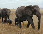 大陆15头亚洲象北迁 学者揭背后心酸