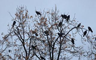 近日,约有万只乌鸦聚集在北京师范大学校园内。图为树上停留的乌鸦。图为示意图。(Getty Images)