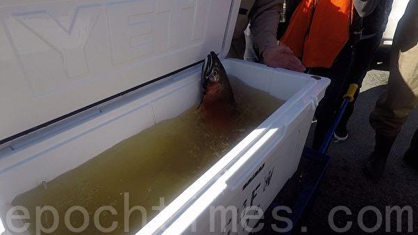 挽救濒危物种 加州渔猎局放生三文鱼