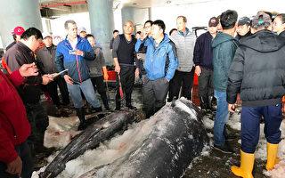 「有史以來最大」台東捕獲罕見白肉旗魚