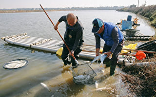 張明達議長下水撈凍魚  感受漁民的艱辛