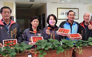 獅潭「橘莓戀」登場   邀約民眾體驗採果樂