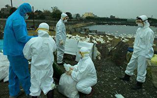 """""""鸡""""同""""鸭""""讲感染H5N2病毒 彰县防疫破功"""