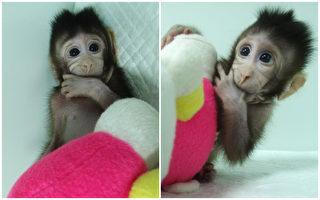 中共克隆猴为何遭到各界批评?