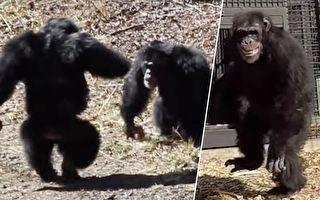 第一次來到室外 大猩猩尖叫擁抱 燦爛笑容融化硬漢心
