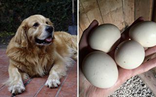 主人把一枚生鸡蛋塞进黄金猎犬嘴巴 下一刻它的表现爆笑
