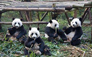多伦多熊猫1家4口即将离开 到卡尔加里定居