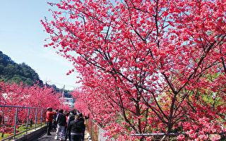 泰安樱花季周末展开  假日赏樱接驳车启动