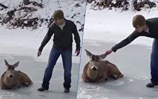 鹿陷冰湖 人們想揪牠耳朵救牠出來 後續發展超暖心