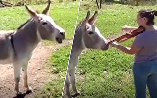 漂亮女士對著一頭驢拉小提琴 驢子的反應讓人驚呆