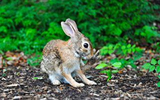 主人把落叶往空中一抛 小兔的反应好可爱