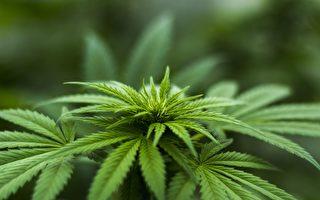 维州犯罪组织雇佣大量留学生种大麻