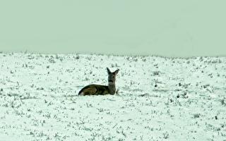 鹿陷冰湖 人们想揪它耳朵救它出来 后续发展超暖心
