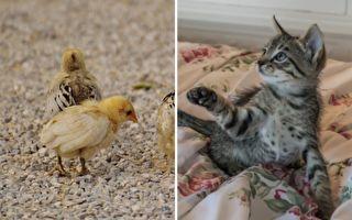 小猫和小鸡相互依偎 接下来发生的事让人意外