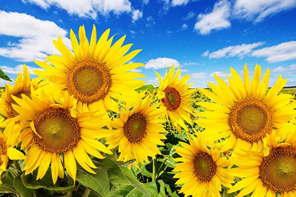 向日葵的田野和蓝天白云(fotolia)