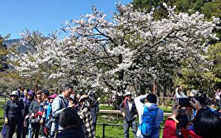 台灣阿里山「櫻王」滿開 遊客賞花要趁早