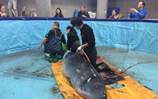 台灣小學設鯨豚救護站 抹香鯨擱淺即刻救援