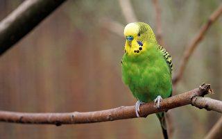 这只鹦鹉不仅会唱歌 它的高音会令人怀疑人生