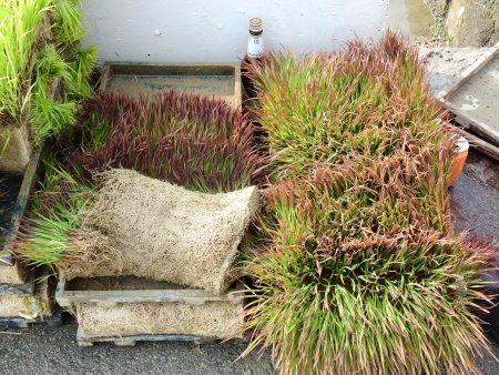 外埔彩绘稻田的面积有1.1公顷左右,插下田的秧苗有白黄紫绿四色,其中紫色的秧苗是台湾原生种。