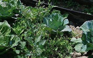 生機農業沒噴灑農藥會有雜草生長。(朱孝貞/大紀元)