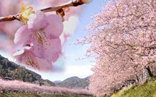 绝美花宴绵延四千米 日本河津樱花美到窒息